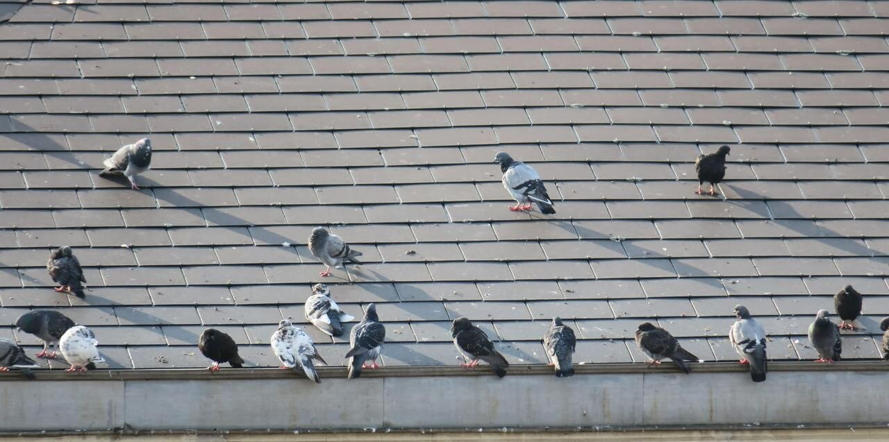 pigeons-rats-volants-nuisible