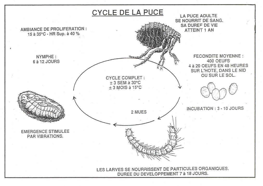puce-desinsectisation-anti-parasitaire-insecticide